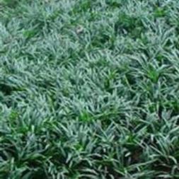 """18 Count Flat-3.5"""" Pots, Ophiopogon Japonicus 'Nana' Dwarf M"""